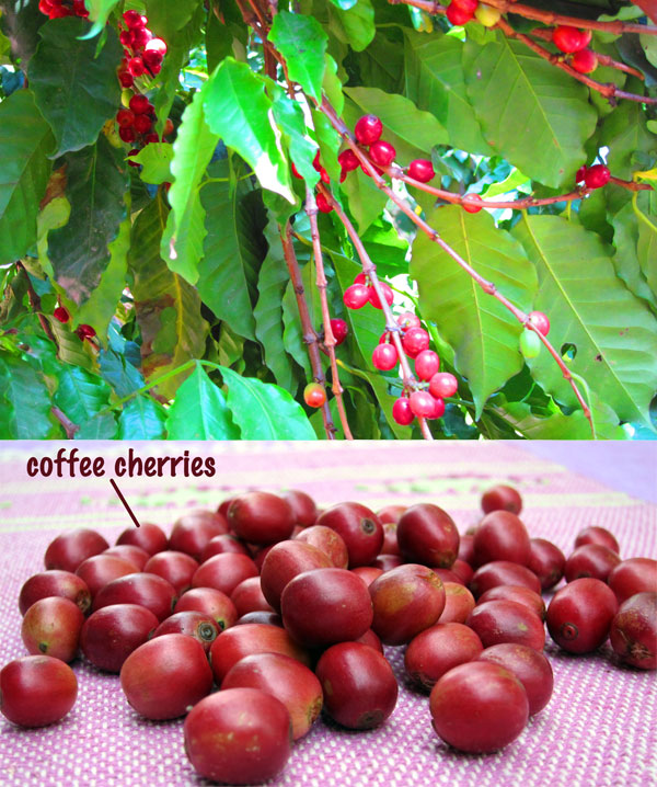 Coffee plant and cherries