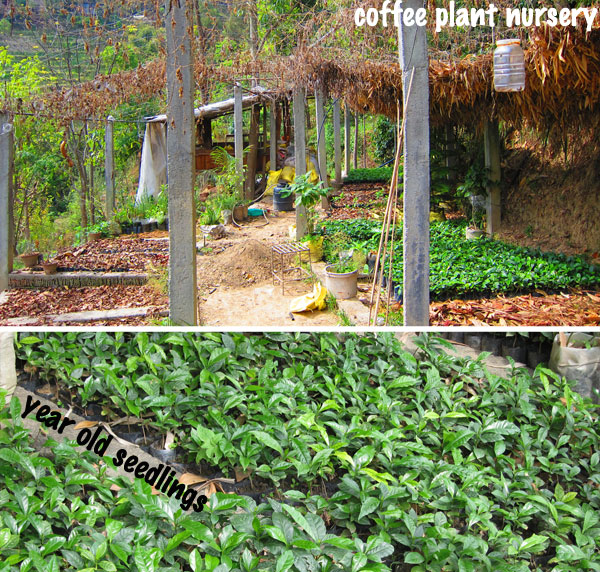Coffee nursery with seedlings in Nepal